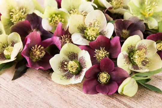 Spring flowers of hellebore or lenten roses closeup
