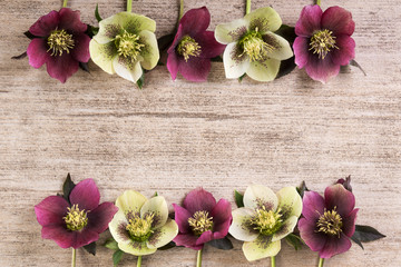 Frame spring flowers lenten rose in a row on light brown rustic background. Copy space