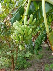 Bananas in Malapasqua Island, Philippines