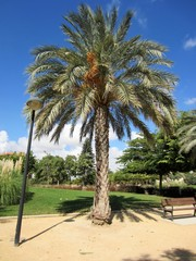 date palm tree in park