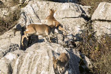 Few ibex goat jumping over rocks and running away