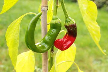 Zwei Korkenzieherpaprika hängen an Pflanze, grün und rot