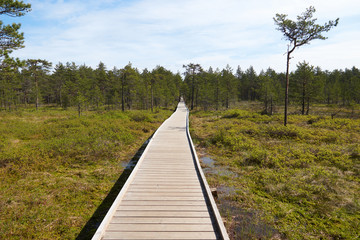 Wide wooden walkway on Viru Raba bog in Estonia going to the a small coniferous forest of pines