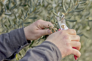 traditional seasonal cutting of olive tree branches