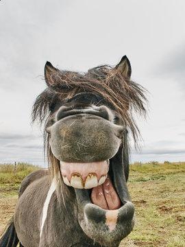 Portrait of icelandic horse with mouth open, Husavik, Iceland