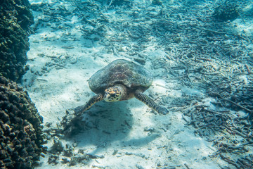 Big old turtle