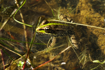Perez's frog or Iberian water frog in a pond - Rana perezi