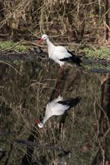 cicogna bianca nello stagno