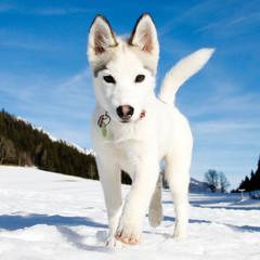 young husky