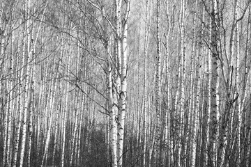 birch forest, black-white photo