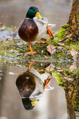 duck on the shore with a reflection