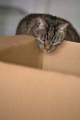 Eine Katze spielt mit einem Karton