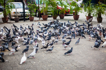 Invasion of pigeons, doves on the street