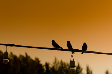 Silhouette of three swollows
