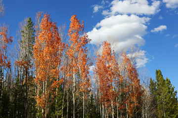 Fototapete - Fall Colors in Aspen Forest