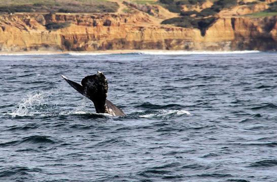 Gray Whale in Pacific Ocean near Sunset Cliffs, San Diego