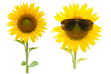 Sunflower,Sunflower with sunglasses  isolated on white background