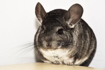 Little gray chinchilla in house