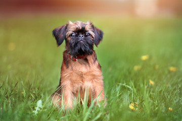 brussels griffon puppy posing at sunset