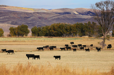 Fototapete - Cattle Feeding in Field in Wyoming Mountains