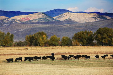 Fototapete - Cattle Feeding in Field in Wyoming and Mountain Background