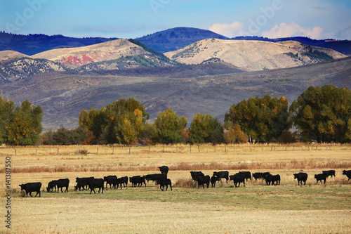 Wall mural Cattle Feeding in Field in Wyoming and Mountain Background