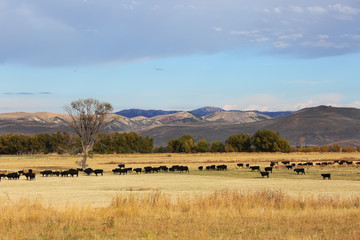 Fototapete - Cattle Feeding in Field in Wyoming