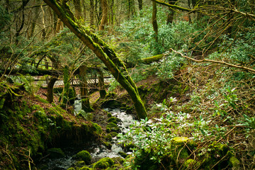 Old green, Scottish forest with rhododendrons and moss.