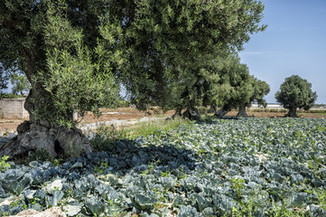 olive trees among cultivated fields