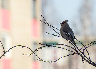 A lonely bird (waxwing) on a branch of a tree in the city at sun dawn