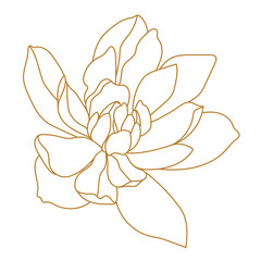 Golden magnolia tropical flower blossom in leaves on a white background.