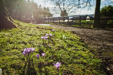 Crocus sun spring.