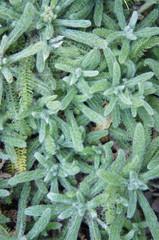 Achillea tomentosa green plant vertical