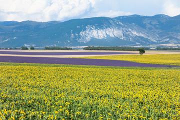 champ de tournesol et de lavande en Provence