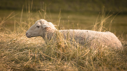 Entspanntes Schaf in einer Wiese