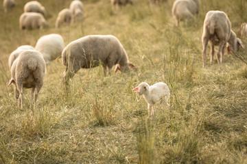 Kleines Lamm in einer Schafherde