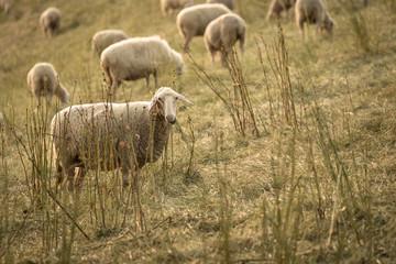 Schaf beim Fressen, Schafherde