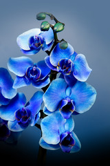 Beautiful blue flowers orhid in garden