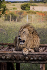 Lion - tje majestic creature