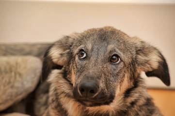 Crossbreed puppy Shepherd looks guiltily.