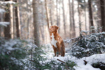 Nova Scotia Duck Tolling Retriever breed of dog in the woods in nature, winter season