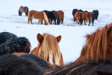 Cute icelandic horses in snowy weather