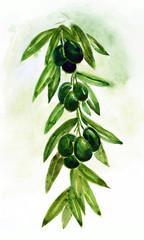 Olive Branch , Olives, Sketch