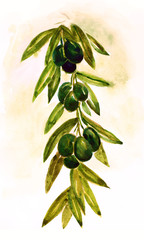 Olive Branch , Olives, Sketch