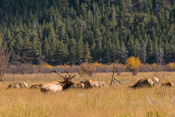 Bull Elk with Cows During the Fall Rut