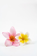 Frangipani over white background