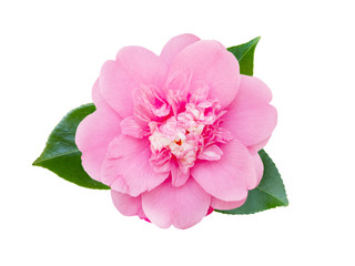 Tender pink camellia flower