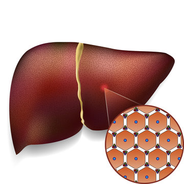 Normal Liver Cells Structure