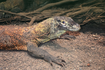 Water monitor lizard or Varanus salvator