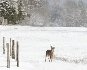 Wall Mural - Young whitetail buck in the snow.